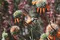 Amazilia Hummingbird (Amazilia amazilia) (9496966985).jpg