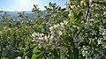 Amelanchier alnifolia var. semiintegrifolia 6.jpg