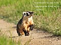American Badger on Seedskadee National Wildlife Refuge (28807538875).jpg