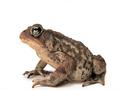 American Toad (Bufo americanus) (6216085977).png