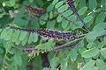 Amorpha ouachitensis - Fleurs-2.jpg