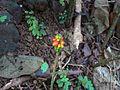 Amorphophallus paeoniifolius (1355525323).jpg