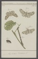 Amphidasis - Print - Iconographia Zoologica - Special Collections University of Amsterdam - UBAINV0274 058 01 0064.tif