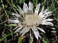 C. acaulis, silvertistel