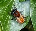 Andrena fulva, female. Tawny Mining Bee (34010202655).jpg