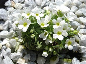 Androsace pubescens.jpg
