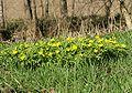 Anemone ranunculoides group.jpg