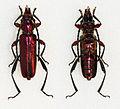 Anexamita heterocnemis splendida (23269807852).jpg