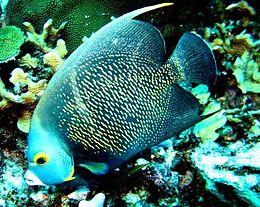 Angel fish bild.JPG