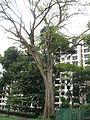 Angsana Tree at Youngberg Terrace 4.JPG