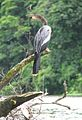 Anhinga (Anhinga anhinga) or Snakebird, Darter, American Darter, Water Turkey, Snake Bird, Devil Bird (8170177522).jpg