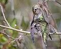 Anna's Hummingbird (f) (42921653615).jpg