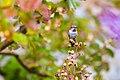 Anna's hummingbird (37757433854).jpg