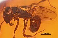 Anochetus corayi SMNSDO834-K1 02.jpg
