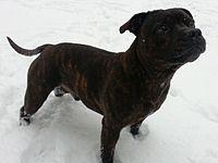 Kennel Club Stud Dogs Border Terrier
