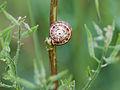Another sleeping snail (5665945744).jpg