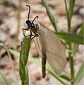 Ant Lion Myrmeleontidae (37595924495).jpg