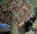 Antennarius striatus 3.jpg