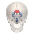 Anterior horn of lateral ventricle - 01.png