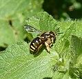 Anthidium sp. probably A. manicatum. Megachilidae (32168993466).jpg