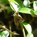 Anthophila fabriciana family Choreutidae - Flickr - gailhampshire.jpg