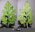 Anthriscus cerefolium var. longirostris sl8.jpg