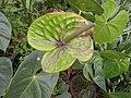 Anthurium andraeanum hybrid-2-hrs-yercaud-salem-India.jpg