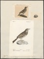 Anthus plumatus - 1700-1880 - Print - Iconographia Zoologica - Special Collections University of Amsterdam - UBA01 IZ16300171.tif