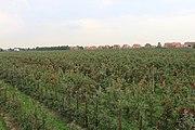 Apfelfläche in Jork-Königreich 02.jpg