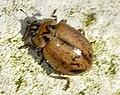 Aphidecta-obliterata-04-fws.jpg