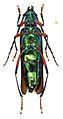 Aphrodisium tricoloripes - ZooKeys-275-067-g001-4b.jpeg