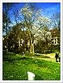 April Magnolia grandiflora Freiburg Botanischer Garten - Master Botany Photography 2013 - panoramio (8).jpg