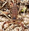Arachnida, Scorpiones, determination pending (4364603782).jpg