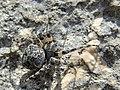 Araneus circe (36694504245).jpg