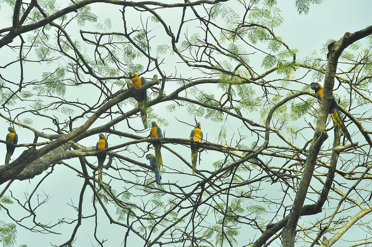 Araras canindé no Parque Nacional da Chapada dos Veadeiros - Filipe Rebula Hasse Ferreira.jpg