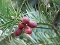 Arboretum de Bagnoles - Cephalotaxus fortunei (fruits).jpg