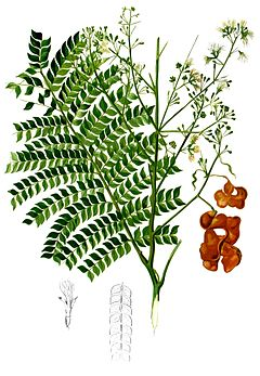 Archidendron scutiferum Blanco2.447-cropped.jpg