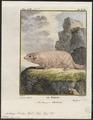 Arctomys bobac - 1700-1880 - Print - Iconographia Zoologica - Special Collections University of Amsterdam - UBA01 IZ20400151.tif