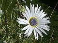 Arctotis grandis 'Blue-eyed daisy' (Compositae) flower 2.JPG