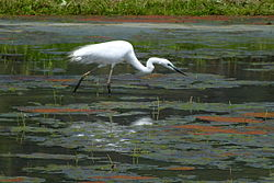 Ardea alba in water,Sasayama,Hyogo Japan 篠山市藤岡の白鷺 DSCF0010.JPG