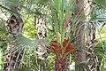 Arecales - Hedyscepe canterburyana - 3.jpg