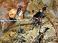 Argia cupraurea - Ruby Dancers mating (42935785381).jpg