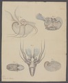 Argonauta argo - - Print - Iconographia Zoologica - Special Collections University of Amsterdam - UBAINV0274 090 01 0006A.tif