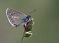 Aricia eumedon 1.jpg
