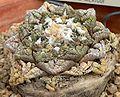 Ariocarpus fissuratus 1.jpg