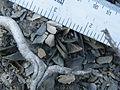 Ariocarpus scapharostrus (5727595776).jpg
