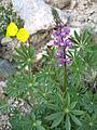 Arizona lupine (Lupinus arizonicus); Cleghorn Wilderness.jpg