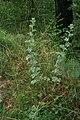Artemisia-absinthium-habitus.jpg