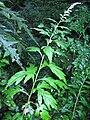 Artemisia montana 1.JPG