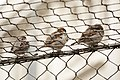 Artis Sparrows on a metal fence (13011075385).jpg